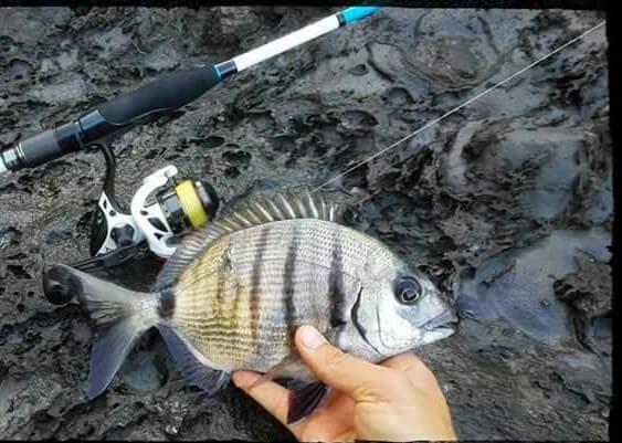pescar sargos con vinilos a rockfishing