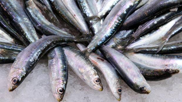 cebo natural para pesca la sardina