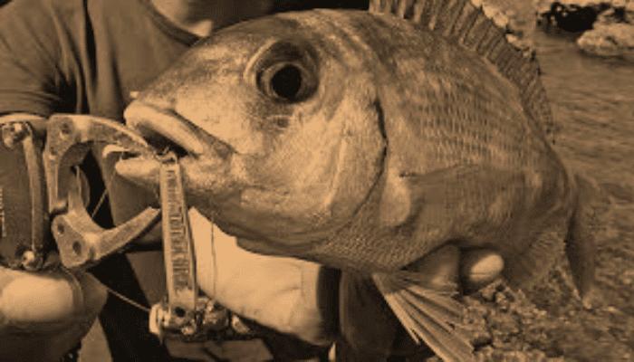 pescar a rockfishing pagel