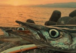barracuda a spinning