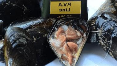 Mejillones para pescar doradas