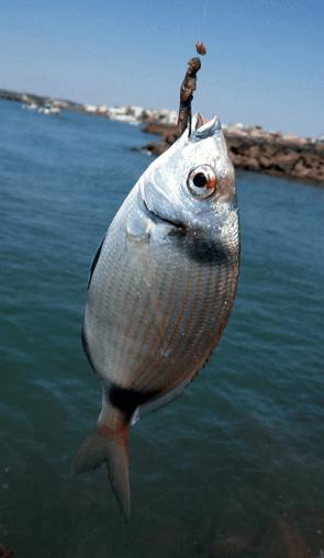 Mojarra pescada con coreana